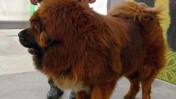 perro león china zoo