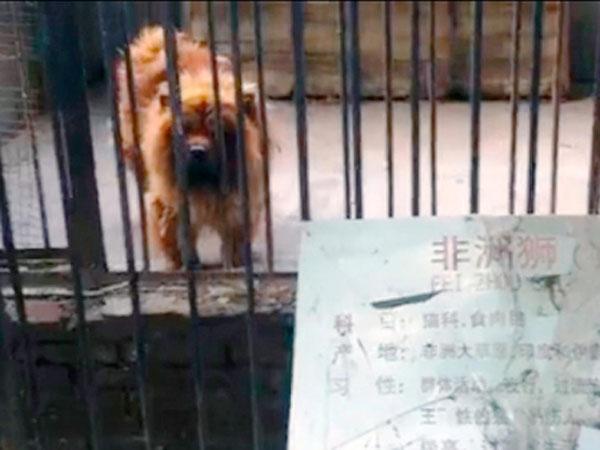 zoológico china perro león
