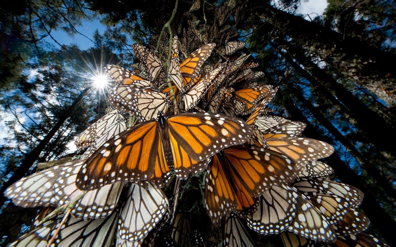 Santuario de la Mariposa Monarca Michoacán