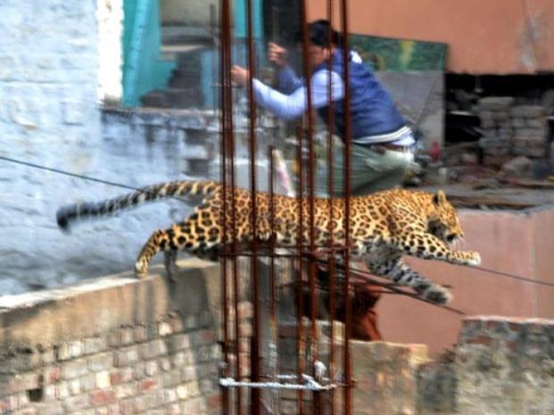 Photo of #WTF! Leopardo Se Pasea Por Ciudad, Hiere A 6 Personas Y Logra Escapar