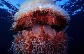 Photo of Proliferan medusas gigantes en isla de Tasmania, Australia