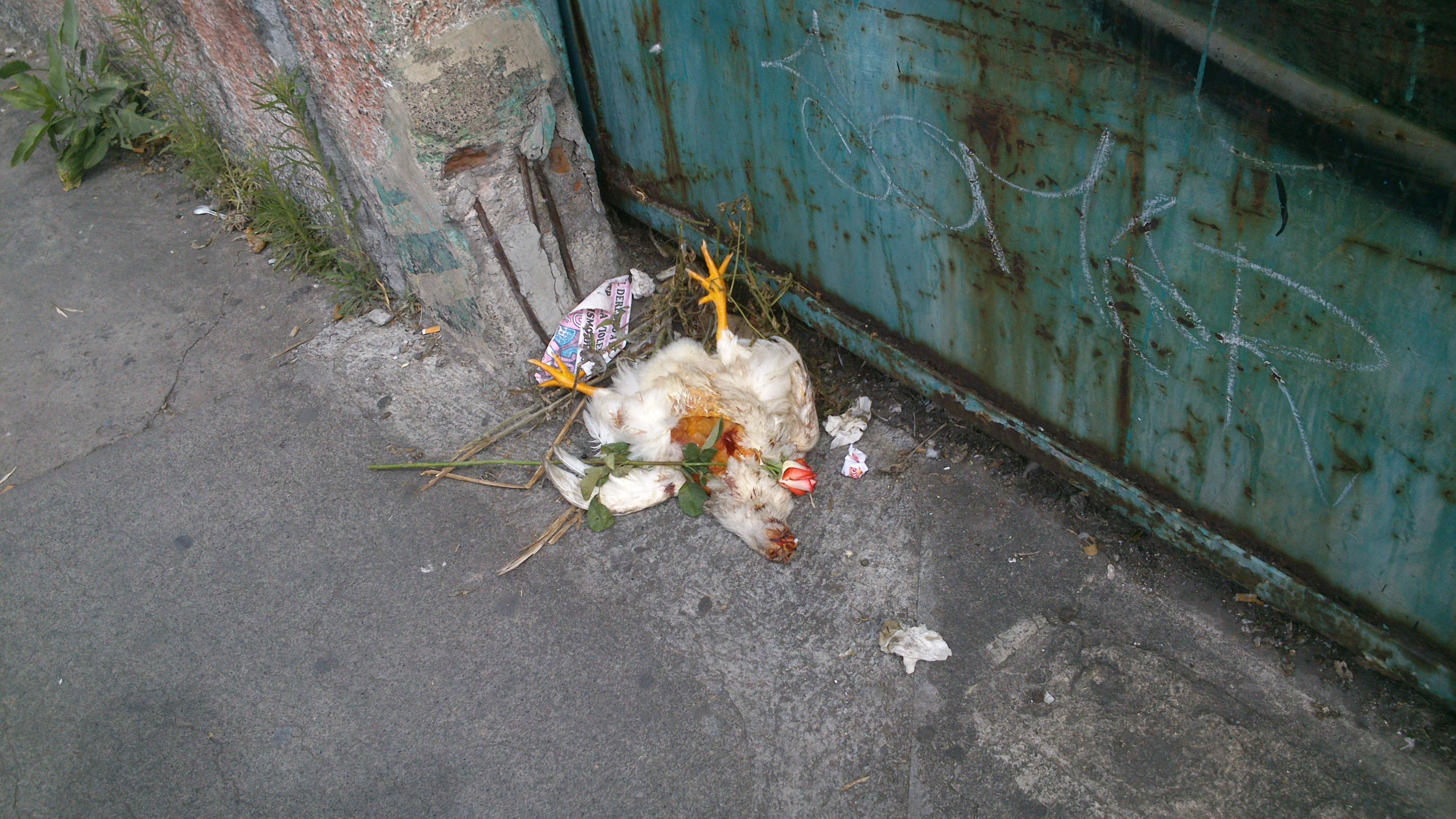 Santería, morelia, gallina muerta