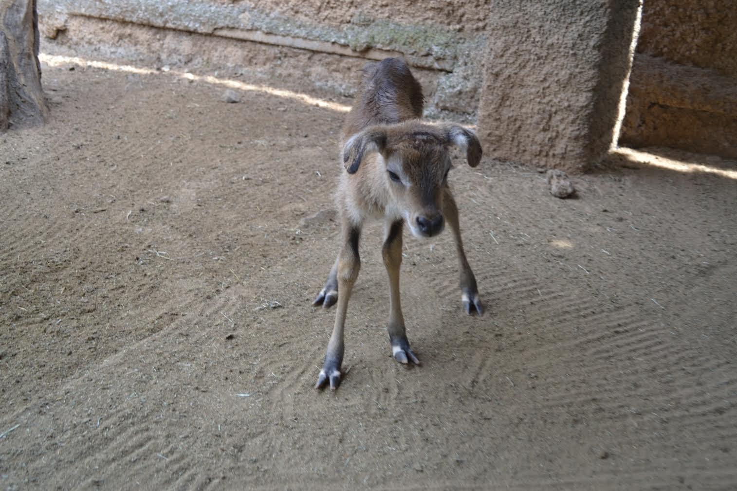 Nacieron Dos Bebés Antílopes En El Zoo De Morelia 2
