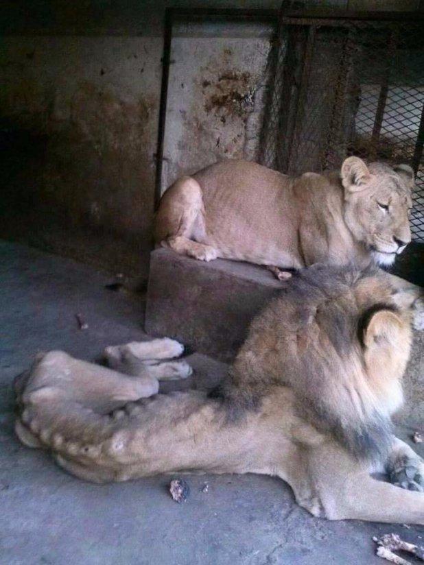 Animales Del Zoo De Yemen Se Mueren De Hambre Y Recurren Al Canibalismo 1