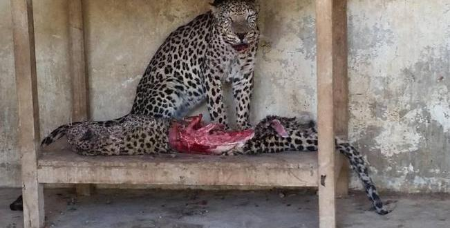 Animales Del Zoo De Yemen Se Mueren De Hambre Y Recurren Al Canibalismo