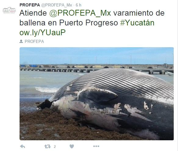 Profepa atiende el caso del varamiento de la ballena en el puerto de Yucatán