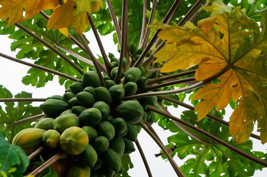 papayas michoacanas