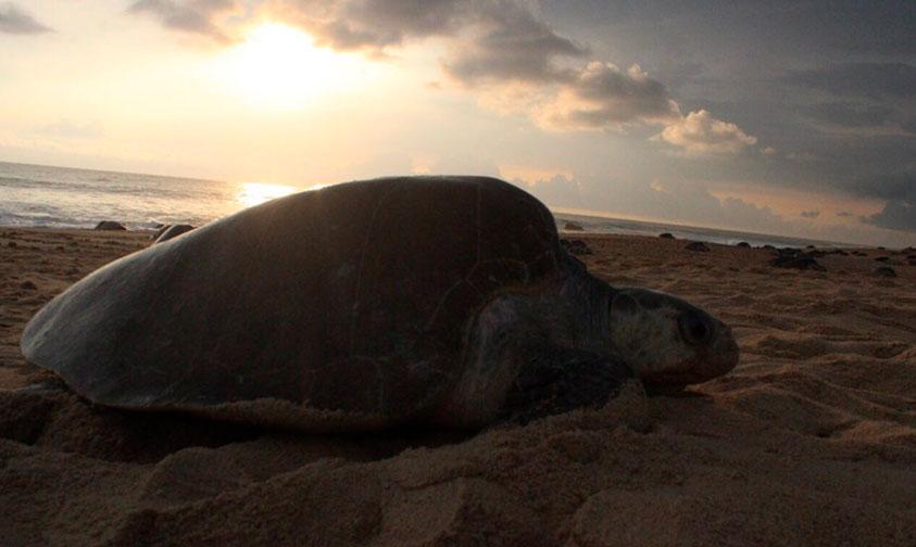 arribo-tortugas-Michoacan-2