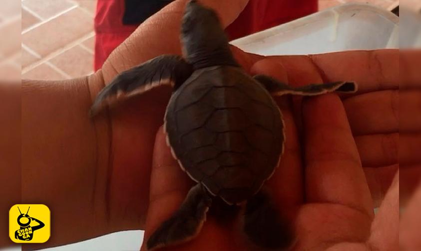 Liberación-tortuga-marina-Playa-Azul-2017