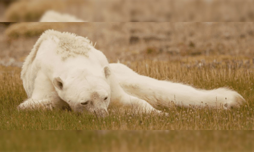 oso-polar-desnutrido-calentamiento-global