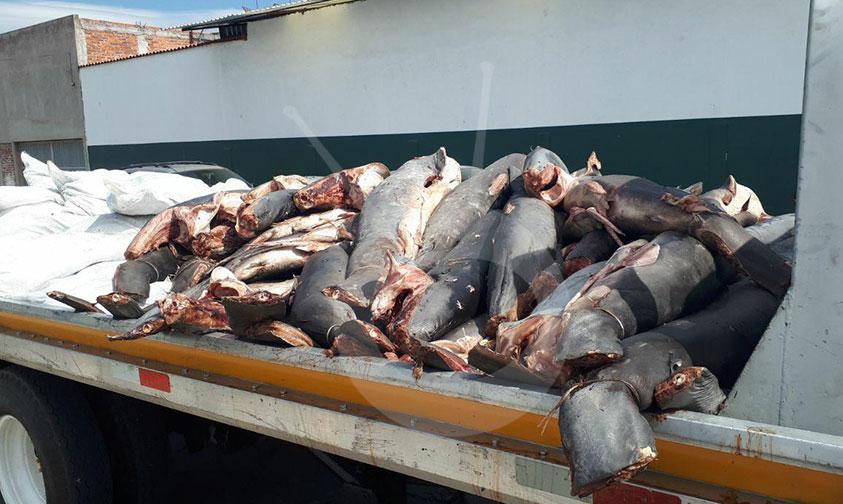 abandonan-tiburones-Yurécuaro