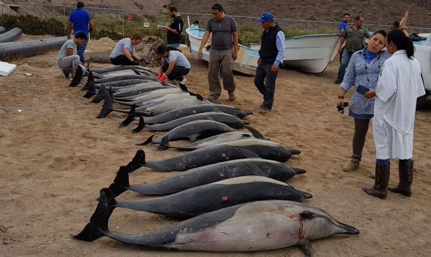 Varamiento Delfines Muertos