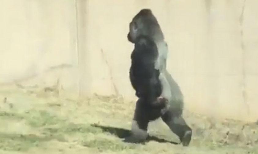 Photo of Gorila Louis Sorprende Caminando Erguido Como Los Humanos (Video)
