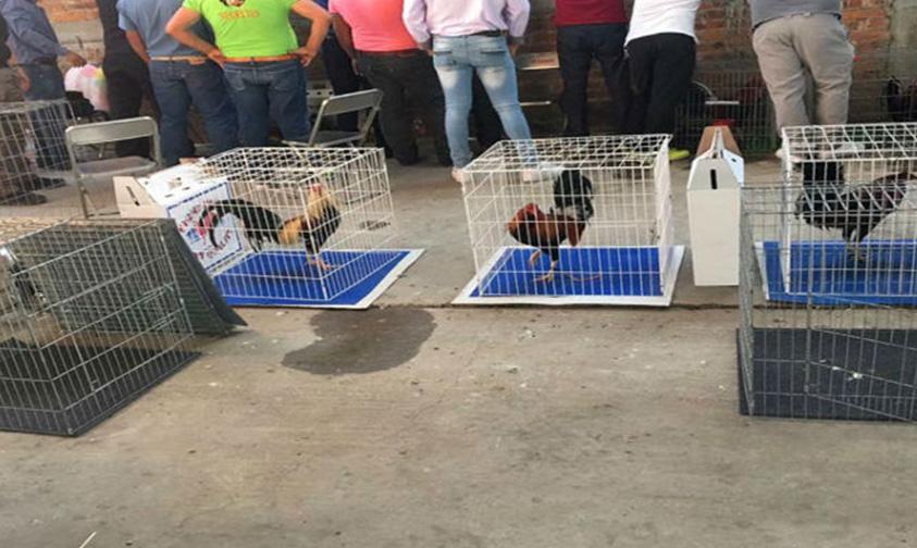 Photo of Ante Denuncia, PGR Asegura 60 Gallos De Pelea En Guanajuato
