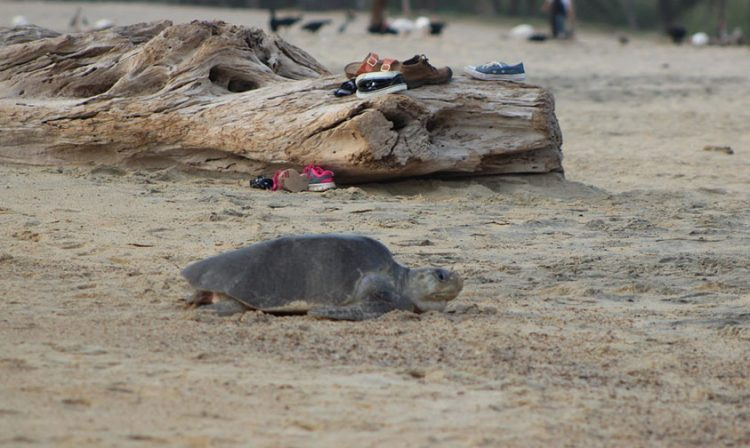 tortugas golfinas Michoacán desovar
