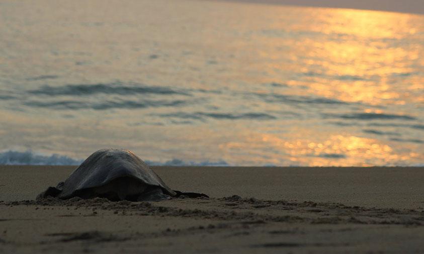 Photo of #Video ¡Naturalmente Bello! Arriban Tortugas Golfinas A Desovar A Costas Michoacanas