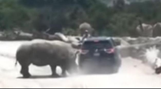 Photo of #Video En Puebla Rinoceronte Ataca Camioneta En Africam Safari