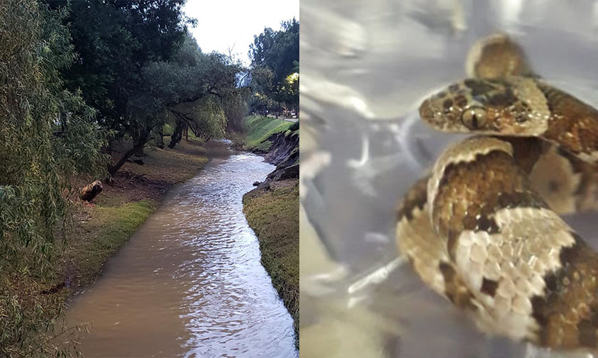 Photo of #Morelia Hallan Víbora Al Limpiar Drenes Del Río Chiquito