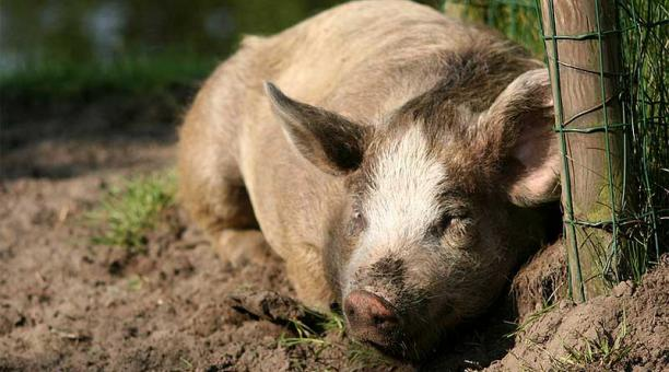 Señor de la tercera edad murió por mordedura de cerdo