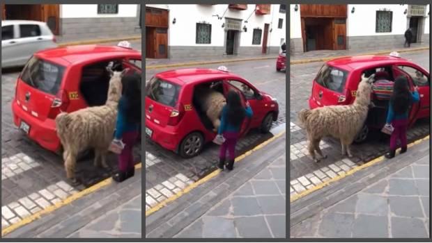 Photo of #Vídeo Llama Que Toma Taxi Enternece Redes Sociales