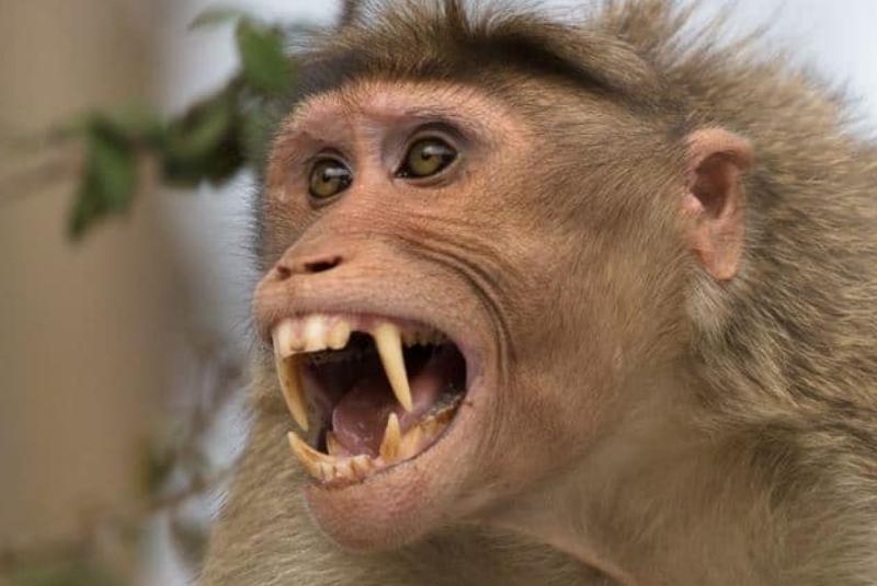Photo of Bebé Muere Al Ser Raptado Y Mordido Por Mono En La Cara