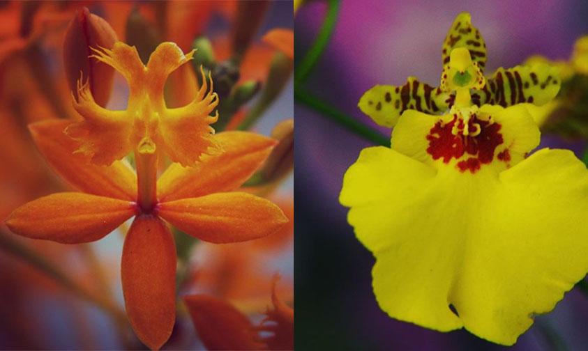 orquidea Michoacán Celebra la Vida