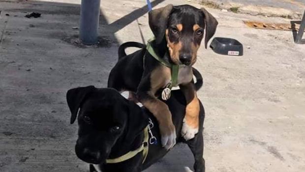Photo of #Chetumal Agencia De Autos Rescata A Cachorros Y Los Contrata Como Seguridad