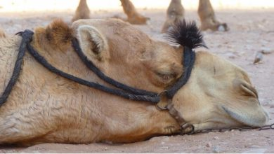 "Photo of Camello Se Niega A Beber O Comer Tras Muerte De Su ""Amo"""