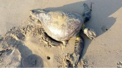 Photo of #Guerrero Más De 80 Tortugas Y 1 Delfín Son Encontrados Muertos En Playas