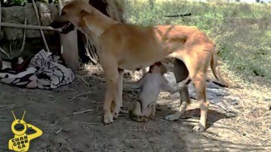 Photo of #Video Perrita Rescata A Changuito Bebé De Jauría, Lo Adopta Como Su Cachorro