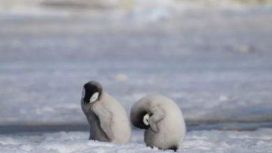 Photo of Toda Una Generación De Pingüinos Bebé Murió Por Calentamiento Global