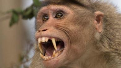 Photo of #WTF Científicos Modifican Genes De Monos Para Que Sean Inteligentes Como Humanos