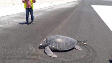 Photo of Tortuga Sale Del Mar A Desovar; Encuentra Playa Convertida En Pista De Aviones
