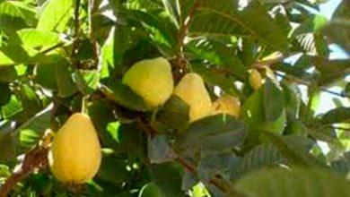 Photo of Deliciosas Guayabas Son Orgullo Que Nacen En Michoacán Para El Mundo Mundial