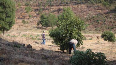 Photo of Autoridades Presumen Desactivación De 2 Huertitas Aguacateras En Zacapu