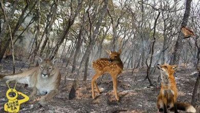 Photo of Pumas, Venados Y Demás Fauna Muertos O Desplazados Por Incendios En Michoacán
