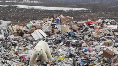 Photo of #WTF! Avistan A Desnutrido Oso Polar Buscando Comida En Basurero