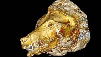 Photo of #WTF! Encuentran Restos De Lobo Gigante Con 40 Mil Años De Antigüedad