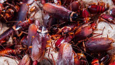 Photo of Comprueban Que Cucarachas Son Cada Vez Más Difíciles De Exterminar