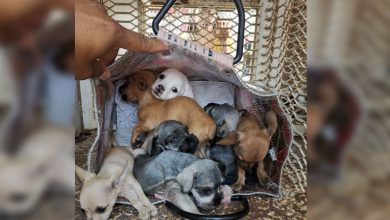 Photo of #Morelia Tras Confiscar Perritos Implementarán Operativos Para Evitar Venta Ilegal De Animales
