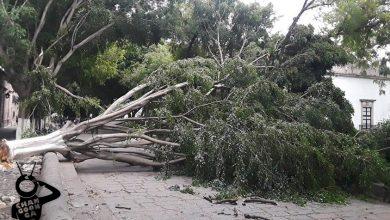 Photo of #Morelia Fuerte Viento Tumbó Árbol En Calzada San Diego, No Hay Lesionados