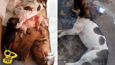 Photo of En Santa Ana Maya, Encuentran Perros Y Cachorros Muertos: Los Golpean O Envenenan