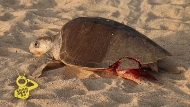 Photo of #Video Tortuga Golfina Desangrándose Desova En Playa de Michoacán