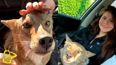 Photo of Morra Rescata A Coyote Salvaje, Pensó Que Era Un Perro Herido; Lo Llama 'Pancho'