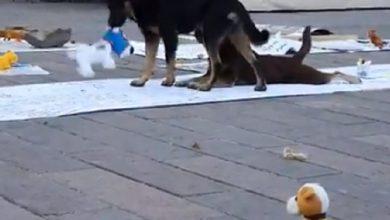 Photo of Pasa En México: Animalistas Regalan Juguetes A Perritos Callejeros Para Visibilizarlos