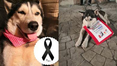 Photo of Max, Perrito Que Vendía Cupcakes Para Pagar Su Tratamiento Contra Cáncer Ha Muerto
