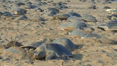 Photo of La Otra Cara Del Covid-19, Miles Tortugas Marinas Vuelven A Playas De India