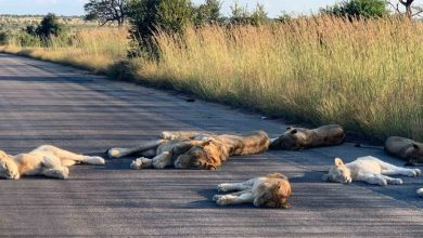 Photo of #WTF! Leones Disfrutan Ausencia De Humanos Y Descansan En Carretera