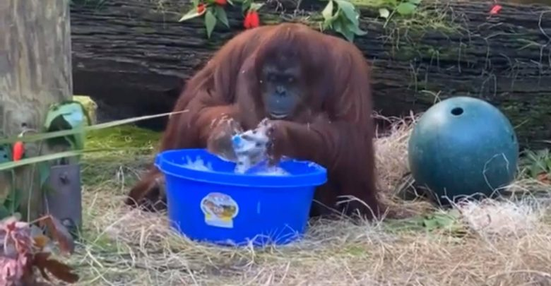 Dime, qué se siente que un simio se lave las manos más seguido que tú