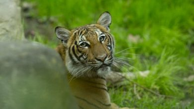 Aseguran Tigre dio positivo a COVID-19